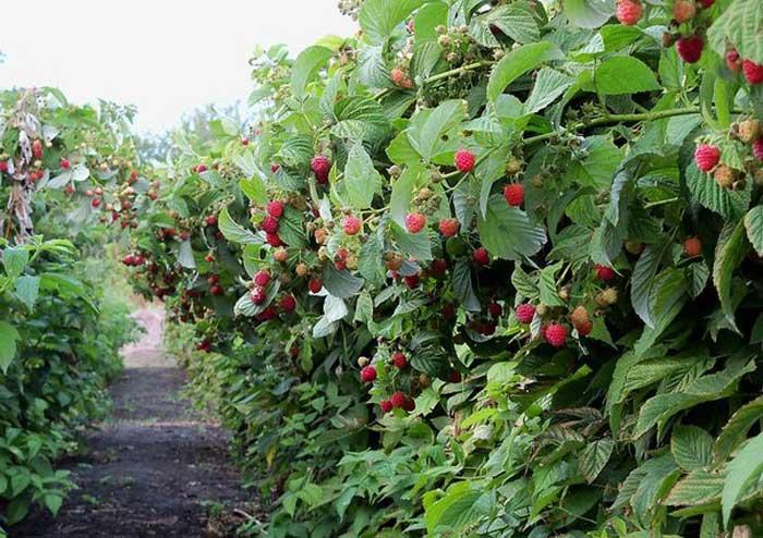 Уход и обрезка кустов малины осенью