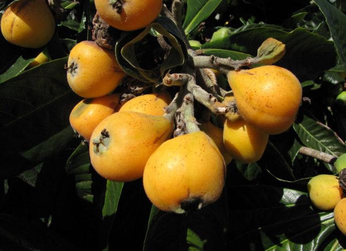 Мушмула: применение и полезные свойства