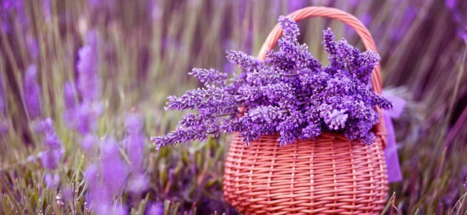 Лаванда – полезные свойства и особенности, рецепты из лаванды
